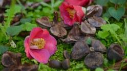 完熟したヤブツバキの花と実=小高朋子撮影