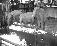 Indira, Hanako and Jumbo, from right, are seen at Ueno Zoo on March 5, 1954. (Mainichi)