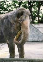 Hanako the elephant is seen at the Inokashira Park Zoo in Musashino, Tokyo, in July 1995. (Mainichi)