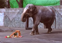 Hanako the elephant is seen at the Inokashira Park Zoo in Musashino, Tokyo, on March 7, 2004 enjoying her present of pancakes and watermelon to celebrate 50 years since her arrival. (Mainichi)