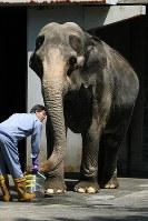 Hanako the elephant is seen at the Inokashira Park Zoo in Musashino, Tokyo, in May 2007 on her 60th birthday. (Mainichi)