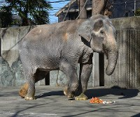 Hanako the elephant is seen eating a special cake made from some of her favorite foods, strawberries and bread, at the Inokashira Park Zoo in Musashino, Tokyo, in January 2013. (Mainichi)