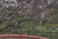 開花したエゾヤマザクラ=釧路市の鶴ヶ岱公園で2016年5月10日