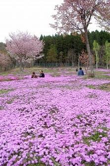 シバザクラとエゾヤマザクラの共演が楽しめる「芝ざくら滝上公園」=北海道滝上町で2016年5月15日