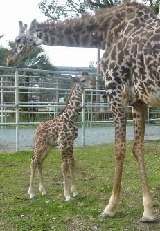 母親のランに寄り添うマサイキリンの雄の赤ちゃん「冬真」=熊本市動植物園提供