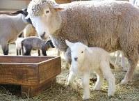 母親に寄り添って羊舎を歩き回る子羊=千葉県富津市のマザー牧場で