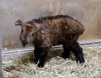 多摩動物公園(東京都日野市)で生まれたゴールデンターキンの赤ちゃん=同園提供