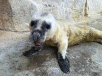 ハイイロアザラシの赤ちゃん=大分市神崎の水族館「うみたまご」で、同館提供