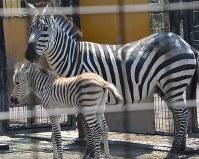 赤ちゃんに寄り添うグラントシマウマの母ユメカ=東京都の羽村市動物公園で