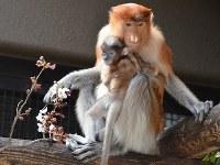母親のキナンティーに抱えられる赤ちゃん(生後96日目)=よこはま動物園ズーラシア提供