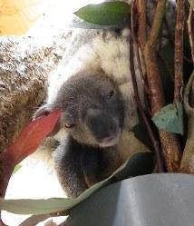 母親ウメのおなかの袋から顔を出した赤ちゃんコアラ=神戸市立王子動物園提供