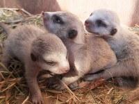 ミーアキャットの赤ちゃん3匹。生後9日目の様子=よこはま動物園ズーラシア提供