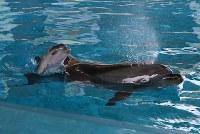 母親のアルカ(右)と一緒に泳ぐバンドウイルカの赤ちゃん=山口県下関市の「海響館」で