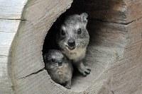 ケープハイラックスの赤ちゃん(左)と母タカコ=いしかわ動物園提供