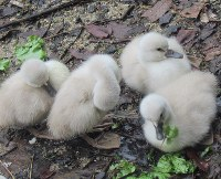 レタスをついばむ赤ちゃん白鳥=日本経済大学福岡キャンパス(福岡県太宰府市)のイングリッシュガーデンで