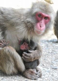 高崎山自然動物園で、今年最初の赤ちゃんザルが誕生。ナナホシに抱かれる赤ちゃんザル=大分市で