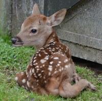 鹿苑で今年最初の鹿の赤ちゃん=奈良市の春日大社境内で