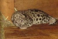 4月19日に生まれ、順調に生育しているユキヒョウの赤ちゃん=旭山動物園提供