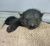 4月に生まれたビントロングの赤ちゃん=福岡市動物園提供