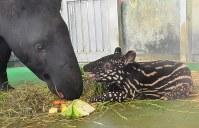 マレーバクの赤ちゃん「コウ」(右)と母「リザ」=東京都日野市の多摩動物公園で