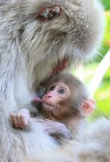 出産期を迎えた「北限のサル」として知られる青森県・下北半島のニホンザル=青森県むつ市で2016年5月17日