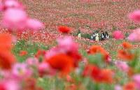 見ごろを迎え、赤いじゅうたんのように広がる「秩父高原牧場」のポピー畑=埼玉県皆野町で2016年5月28日午後2時26分、竹内紀臣撮影
