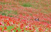 見ごろを迎え、赤いじゅうたんのように広がる「秩父高原牧場」のポピー畑=埼玉県皆野町で2016年5月28日午後2時8分、竹内紀臣撮影
