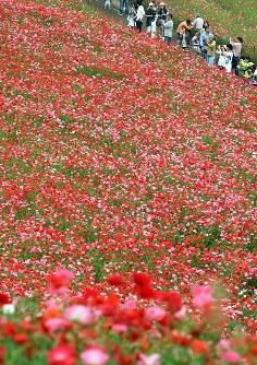 見ごろを迎え、赤いじゅうたんのように広がる「秩父高原牧場」のポピー畑=埼玉県皆野町で2016年5月28日午後1時55分、竹内紀臣撮影