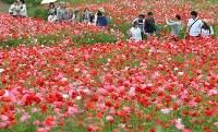見ごろを迎え、赤いじゅうたんのように広がる「秩父高原牧場」のポピー畑=埼玉県皆野町で2016年5月28日午後1時53分、竹内紀臣撮影