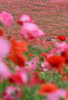 見ごろを迎え、赤いじゅうたんのように広がる「秩父高原牧場」のポピー畑=埼玉県皆野町で2016年5月28日午後2時半、竹内紀臣撮影