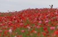 見ごろを迎え、赤いじゅうたんのように広がる「秩父高原牧場」のポピー畑=埼玉県皆野町で2016年5月28日午後3時18分、竹内紀臣撮影