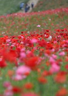 見ごろを迎え、赤いじゅうたんのように広がる「秩父高原牧場」のポピー畑=埼玉県皆野町で2016年5月28日午後3時20分、竹内紀臣撮影