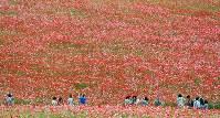 見ごろを迎え、赤いじゅうたんのように広がる「秩父高原牧場」のポピー畑=埼玉県皆野町で2016年5月28日午後2時55分、竹内紀臣撮影