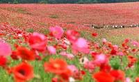 見ごろを迎え、赤いじゅうたんのように広がる「秩父高原牧場」のポピー畑=埼玉県皆野町で2016年5月28日午後2時23分、竹内紀臣撮影
