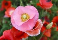 見ごろを迎えた「秩父高原牧場」のポピー=埼玉県皆野町で2016年5月28日午後3時13分、竹内紀臣撮影