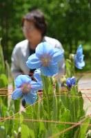 きれいな花を咲かせた「ヒマラヤの青いケシ」=大鹿村の中村農園で
