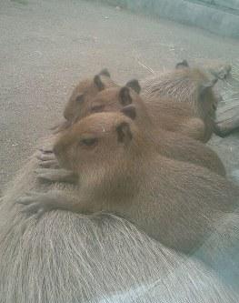 親の背に乗るカピバラの三つ子の赤ちゃん==宇都宮動物園提供