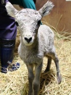 生まれた翌日のオオツノヒツジの赤ちゃん=横浜市立金沢動物園提供