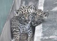 仲良く寄り添うジャガーの双子の赤ちゃん=大阪市天王寺区の天王寺動物園で