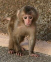 ニホンザルの赤ちゃん=群馬県桐生市の桐生が岡動物園提供
