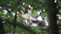 野生下で生まれ育ったトキ同士のつがいから誕生し、巣立ちしたひな=新潟県佐渡市で、環境省提供