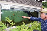 廃電話ボックスで水槽を作り、竹原川の生き物などを放して展示している水田進さん=兵庫県洲本市千草戊で、登口修撮影