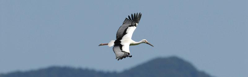 連載 コウノトリ空へ 2005初放鳥
