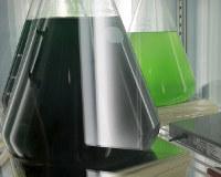 藻類は約1週間ほどで薄緑色(右奥)から真っ黒に見えるまで増える=大阪市住吉区の大阪市立大で2016年6月8日、貝塚太一撮影