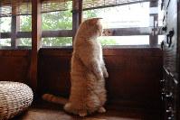 後ろ足で立ち上がる姿が人気のウニちゃん。この日は窓の外が気になったのか、30秒ほど立っていた=京都市上京区で、小松雄介撮影