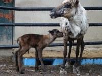 12年ぶりに旭山動物園で誕生したトナカイの赤ちゃん=旭山動物園提供