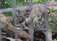 2匹でじゃれ合うアムールトラの赤ちゃん=旭川市の旭山動物園で