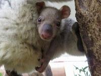 母親エミのおなかの袋から顔を出したコアラの赤ちゃん=埼玉県こども動物自然公園提供