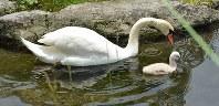 親鳥と泳ぐコブ白鳥のヒナ=大分県別府市の志高湖で