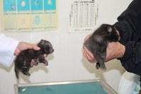 子グマと思われて捕獲されたタヌキの幼獣=青森県南部町農林課提供